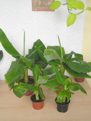 zwerg banane ableger kindel abtrennen vermehren