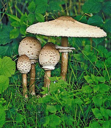 Pilze Im Garten Ernten by Speise Pilz Parasol 1 Kultur Set Kaufen