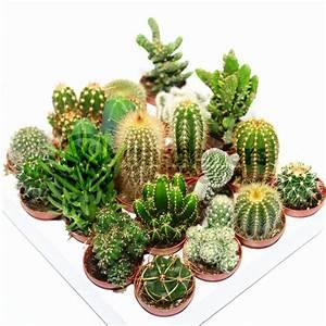 Cactus, Mix, -, 10, Plants, -, House, Office, Live, Indoor, Pot, Plant