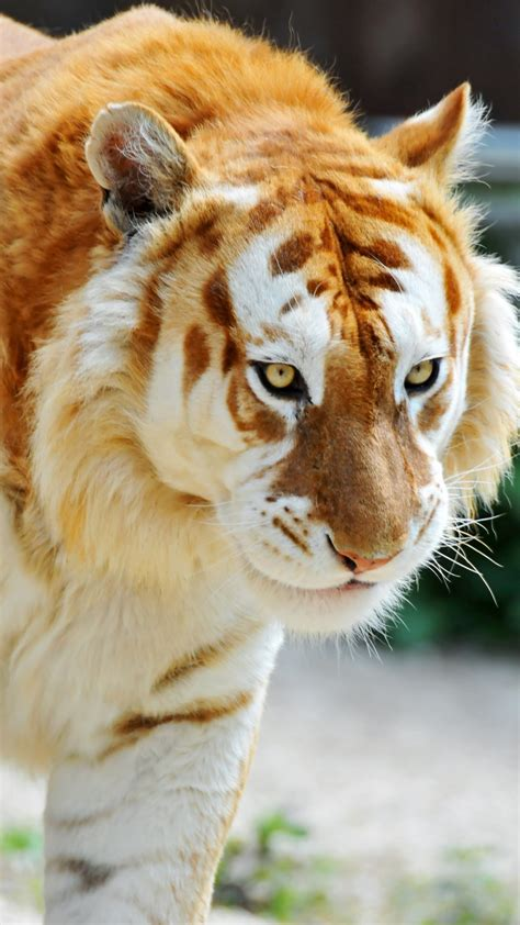 tiger htc  wallpaper   htc  wallpapers