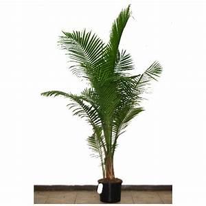"""""""Majesty"""" Palm Tree RONA"""