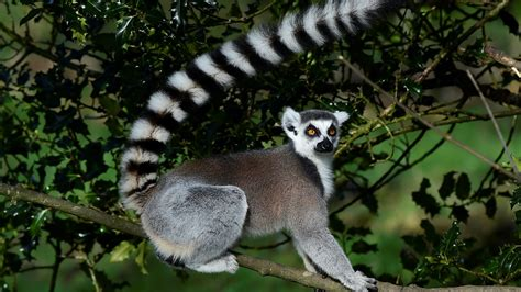 lemur california endangered zoo tailed ring pleads guilty stealing reuters