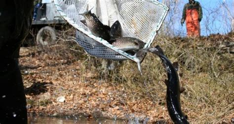 DEM CONDUCTING SECOND ROUND OF TROUT STOCKING NEXT WEEK ...