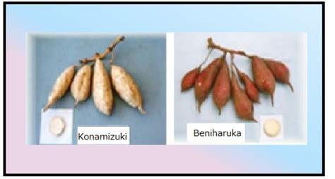 karcnarosweet potato breeding group