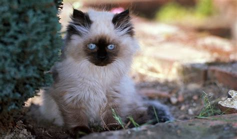 Himalayan Cat Breed Information