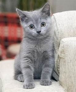 Russian Blue Cat--this is the kind of cat I want!! | cats ...