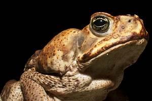 File Cane Toad With Tick  Barro Colorado Island Jpg