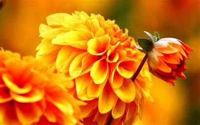 Flowers Flower Autumn Wallpapers Orange Dahlia Fall