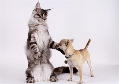 protection siege auto chien maine coon a vendre khenghua