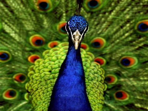 Live Animal Wallpaper For Mobile - peacock wallpapers for mobile