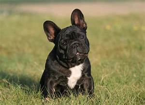 Franzosische bulldogge kampfhund als beliebtes for Franz sische landhausküche