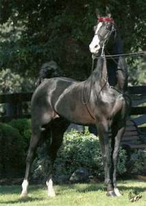Homozygous Black Saddlebred Stallion