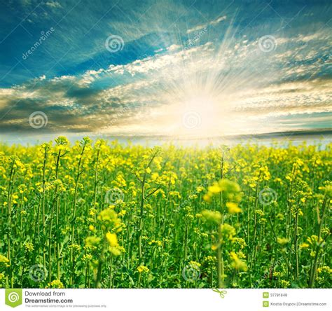 blooming green field   background   rising sun