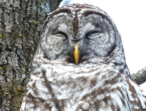 Barred Owl We Sighted At West Cranberry Tract In Whitby