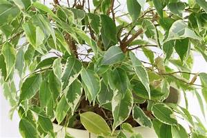 Ficus Benjamini Verliert Alle Blätter : birkenfeige ficus benjamina pflege von a z ugs f ~ Lizthompson.info Haus und Dekorationen