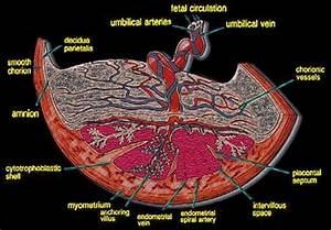Pregnant Woman Diagram Placenta
