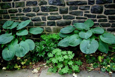 hosta shade designing with hostas carolyn s shade gardens