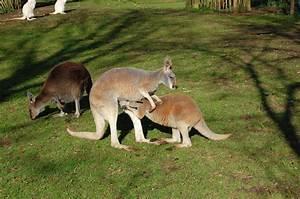 Female red kangaroo and joey, with grey kangaroo and red ...