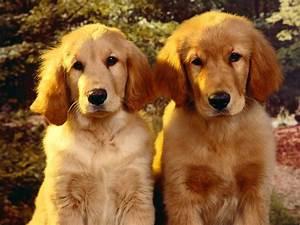 Golden retriever Puppies :333 | 2 Cute | Pinterest