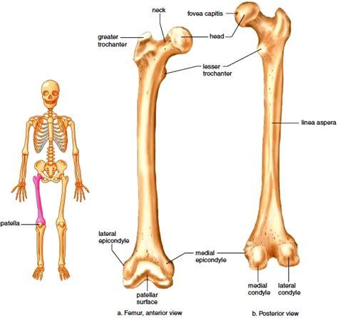 Tulang Gigitan Hip Bone left femur pictures to pin on thepinsta