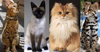 best breeds for cats 20 of the world s most expensive cat breeds costing up to