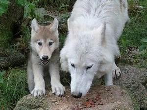 Bébé Loup Blanc : maman et b b loup blanc pinterest loup loup blanc ~ Farleysfitness.com Idées de Décoration
