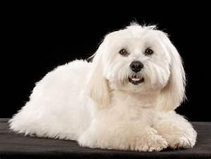 Little White Dog, Take Two - Austin Pet Photography