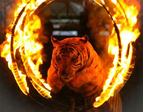 circus tigers turn  trainer maul   death
