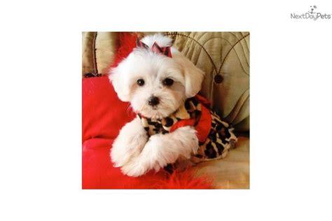 malti poo maltipoo puppy for sale near texoma texas