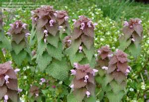 Image result for dead nettle