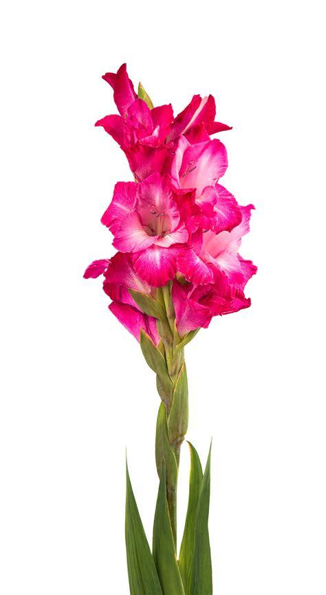 gladiola dark pink charlotte flower market
