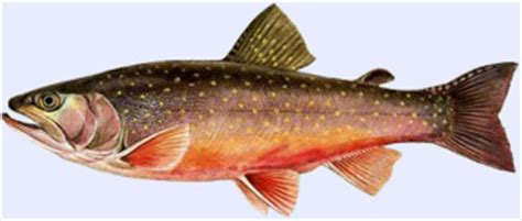 cuisiner l omble chevalier les poissons carnassiers à pêcher aux leurres omble
