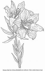 Coloring Pages Lily Flowers Flower Wild Adult Dover Printable Publications American Lilies Colouring Doverpublications Tattoo Tiger Welcome Orange Blossom Drawings sketch template
