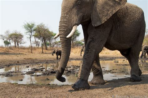 Large Elephant - Burrard-Lucas Photography