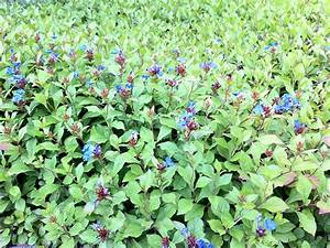 Bodendecker Blau Blühend Winterhart : bodendecker sonniger standort bodendecker pflegeleichte ~ Michelbontemps.com Haus und Dekorationen