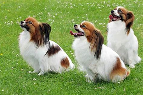 beautiful papillon dog   pictures