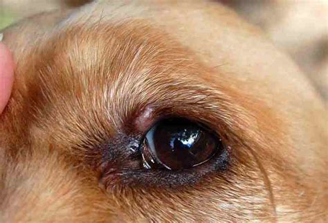 What Is That Thing On My Dog's Eye??