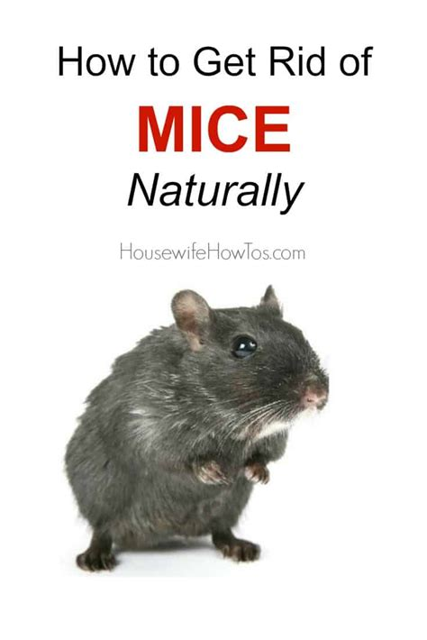 how to get rid of mice in house how to get rid of mice naturally and keep them away for