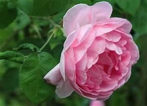 Schädlinge An Rosen : sch dlinge an rosen krankheiten ~ Lizthompson.info Haus und Dekorationen