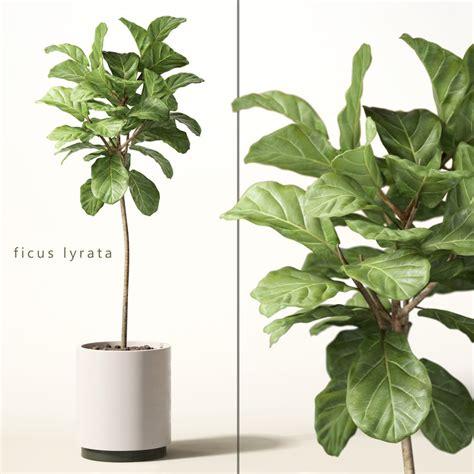 ficus lyrata 3d model of ficus lyrata