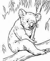 Koalas Colorluna Ilucky sketch template