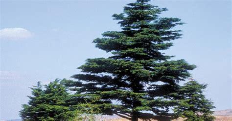 Oleiros do Rei: O cedro do Líbano