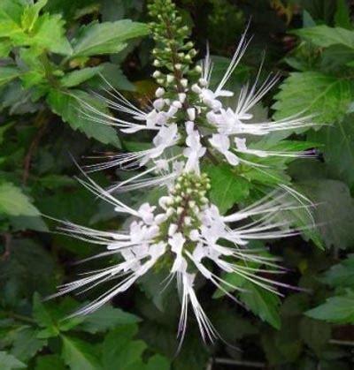 edukasi tentang herbal manfaat tanaman kumis kucing