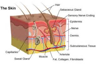 Horse Hair Shedding Tool by Your Skin And How Does Acne Affect It