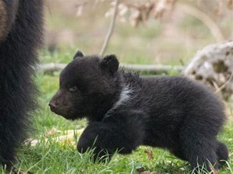 Baby Bear Euthanised By Swiss Zoo Amid Public Outrage Will