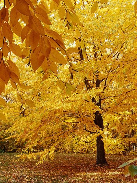 tree with yellow leaves in fall top trees and shrubs for fall color