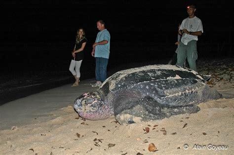 Les tortues marines en Guadeloupe
