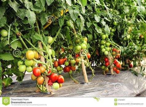 cultivation of tomatoes tomato cultivation stock image image of closeup agricultural 67823907