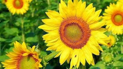 Bunga Untuk Laptop Matahari Gambar Sunflower 1366