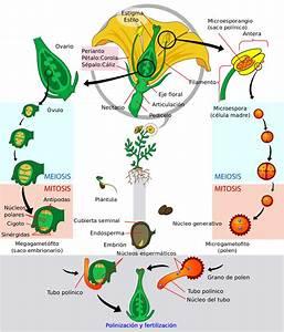 File Angiosperm Life Cycle Diagram-es Svg